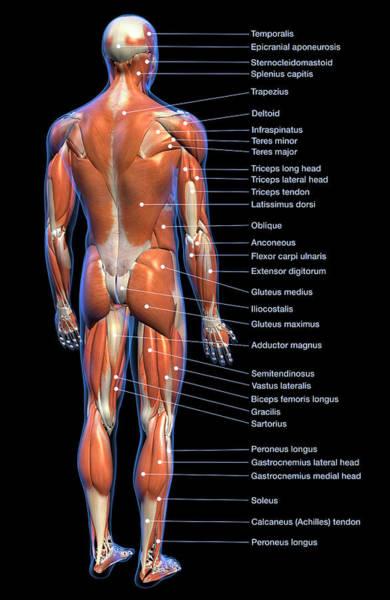 Wall Art - Photograph - Labeled Anatomy Chart Of Full Body Male by Hank Grebe