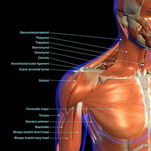 Wall Art - Photograph - Labeled Anatomy Chart Of Neck by Hank Grebe