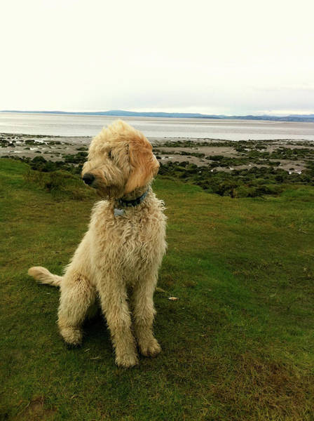 Look Away Photograph - Labradoodle On The Beach by By Helen Cat