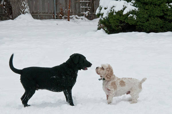 Wall Art - Photograph - Labrador And Cockapoo by William Mullins
