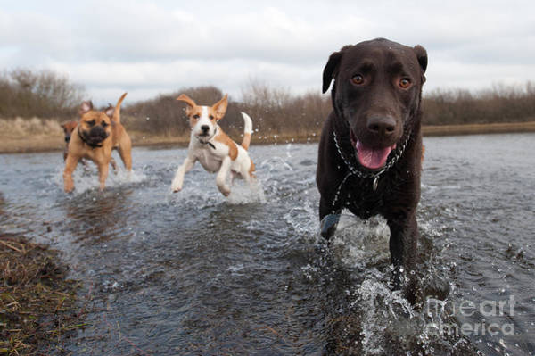 Canine Wall Art - Photograph - Labrador Retriever And Friends Having by Eric Gevaert
