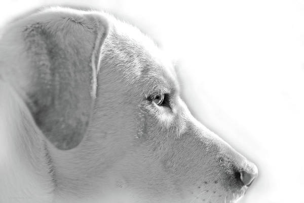 Wall Art - Photograph - Labrador Retriever Portrait Monochrome by Jennie Marie Schell