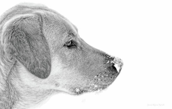 Wall Art - Photograph - Labrador Retriever Snow On My Nose Monochrome by Jennie Marie Schell