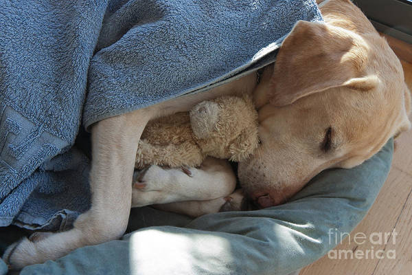 Wall Art - Photograph - Labrador Sleeping And Hugging A Teddy by Davidsunyol