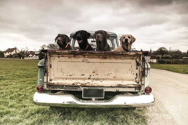 Wall Art - Photograph - Labradors In A Vintage Truck by Claire Norman