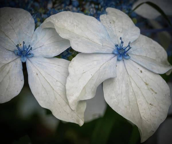 Photograph - Lace Leaf Hydrangea by Jean Noren