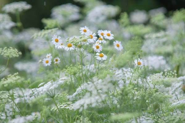 Photograph - Lacy White Blooms Of Summer Meadow by Jenny Rainbow