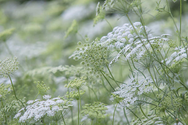 Photograph - Lacy White Green Blooms Of Summer Meadows 1 by Jenny Rainbow