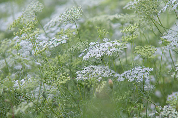 Photograph - Lacy White Green Blooms Of Summer Meadows 2 by Jenny Rainbow