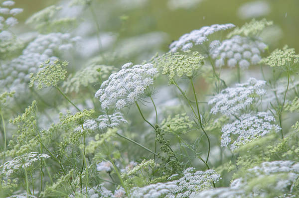 Photograph - Lacy White Green Blooms Of Summer Meadows 5 by Jenny Rainbow