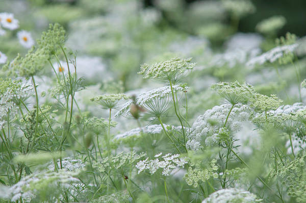 Photograph - Lacy White Green Blooms Of Summer Meadows by Jenny Rainbow