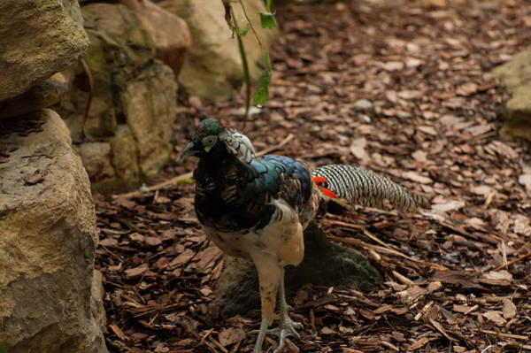 Photograph - Lady Amherst's Pheasant 004 by Chris Flees