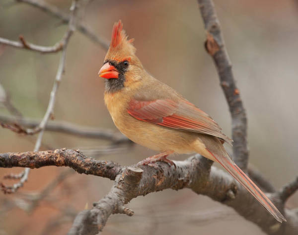 Photograph - Lady Cardinal by Lara Ellis