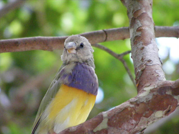 Photograph - Lady Gouldian Finch Female - Dwp090108011 by Dean Wittle