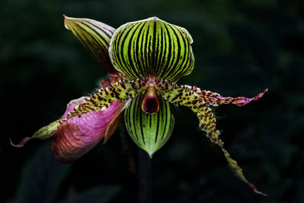 Photograph - Lady Slipper Orchids by Debra and Dave Vanderlaan