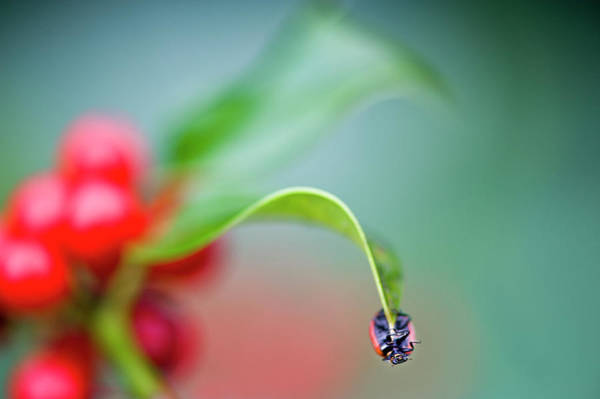 Ladybird Wall Art - Photograph - Ladybird And Holly Red Berries by Jacky Parker Photography