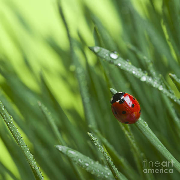 Herbal Wall Art - Photograph - Ladybird On Grass by Didecs