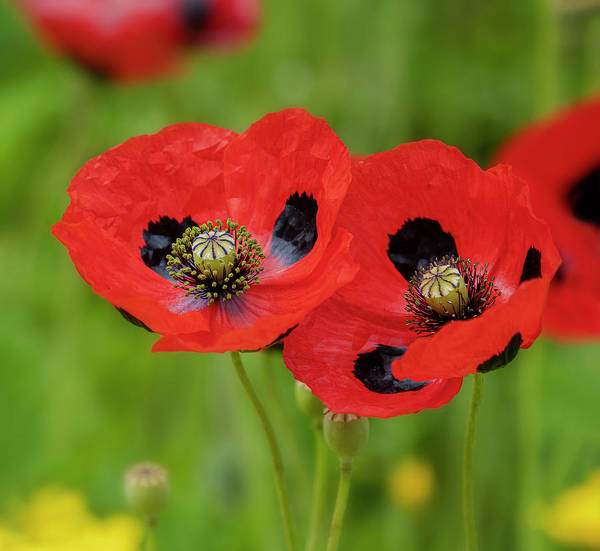 Photograph - Ladybird Poppies by Jonathan Hansen