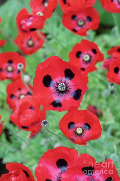 Photograph - Ladybird Poppies by Tim Gainey