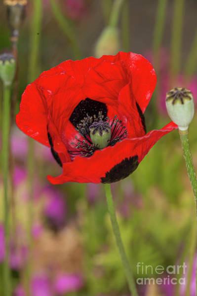 Photograph - Ladybird Poppy by Brian Roscorla