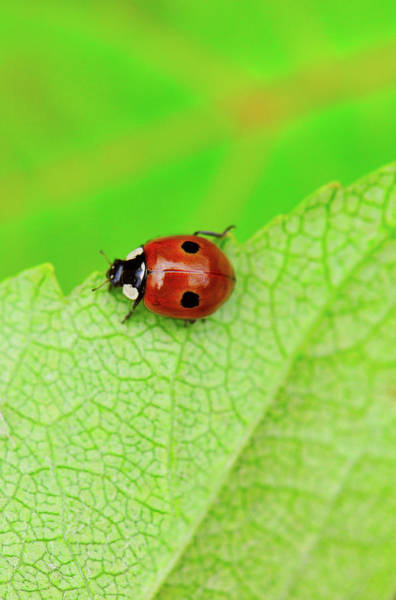 Wall Art - Photograph - Ladybird Walking Across A Leaf by Kathy Collins