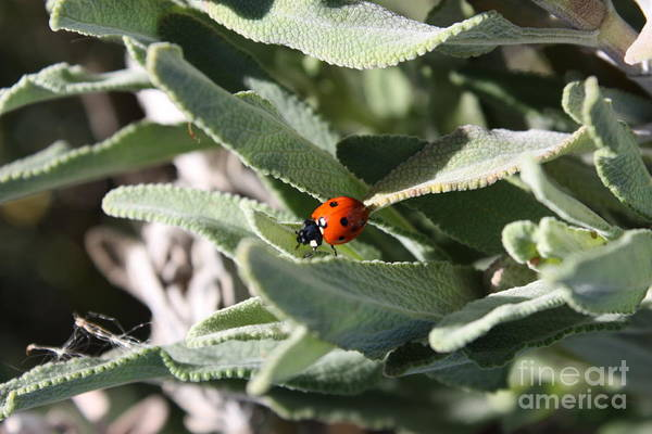 Wall Art - Photograph - Ladybug In The Sage Leaves by Carol Groenen