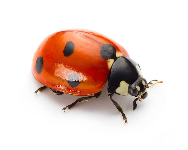 Bright Colors Photograph - Ladybug Insect Isolated On White by Valentina Proskurina