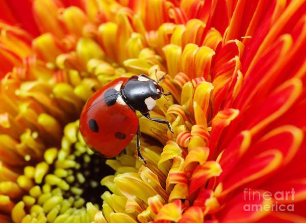 Wall Art - Photograph - Ladybug by Irin-k