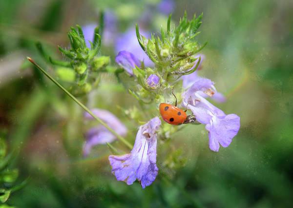 Photograph - Ladybug by Joan Carroll