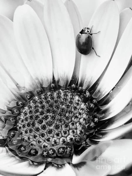 Wall Art - Photograph - Ladybug On An African Daisy by Dawn Danehart