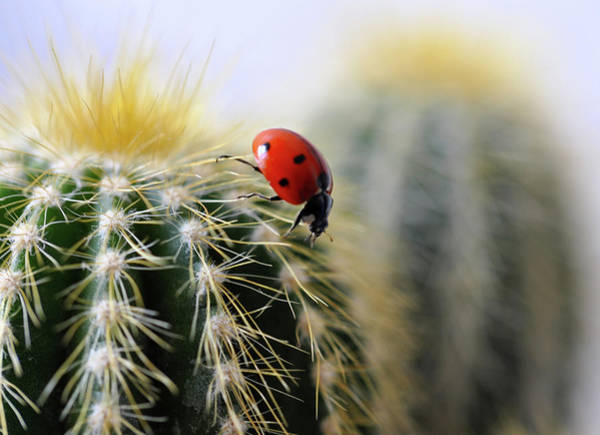 No One Wall Art - Photograph - Ladybug On Cactus by  Ta'