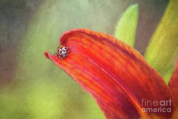 Wall Art - Photograph - Ladybug On Orange Lily by Sharon McConnell