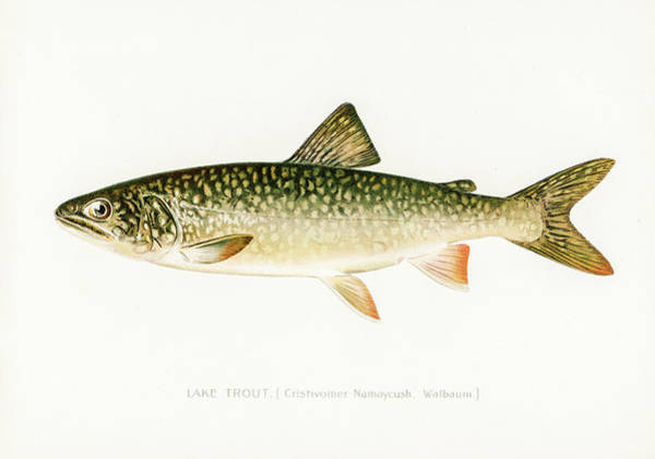 Drawing - Lake Trout by David Letts
