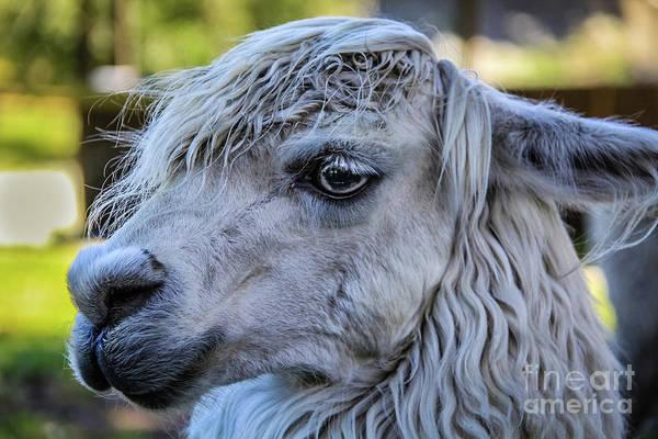 Photograph - Lama Portrait by Lyl Dil Creations