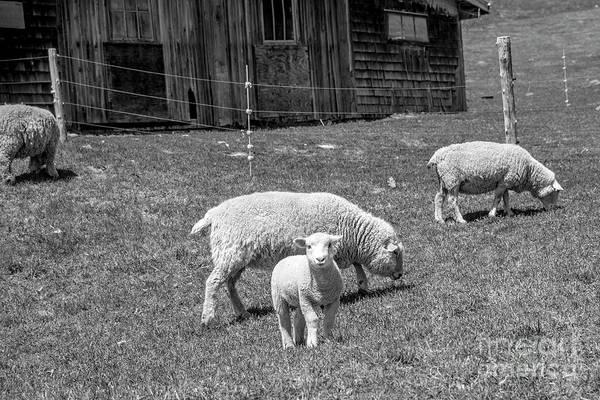 Photograph - Lamb by Alana Ranney