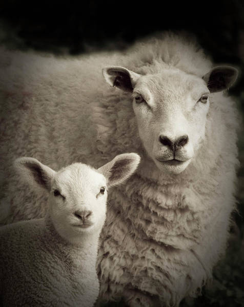 Cute Photograph - Lamb And Mother Sheep by N55ffc