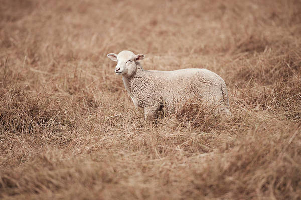 Photograph - Lamb by Rob D Imagery