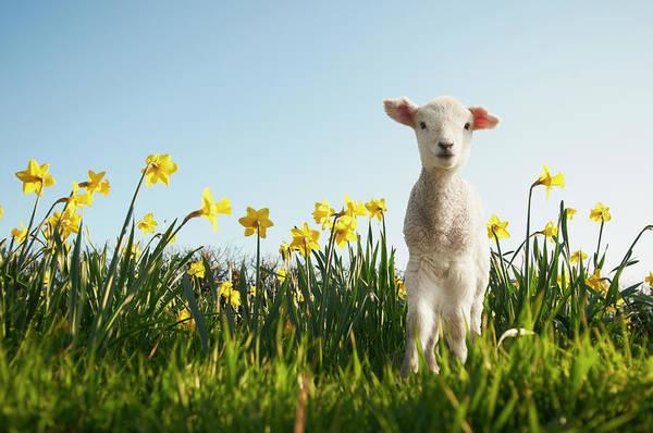 Beginnings Photograph - Lamb Walking In Field Of Flowers by Peter Mason