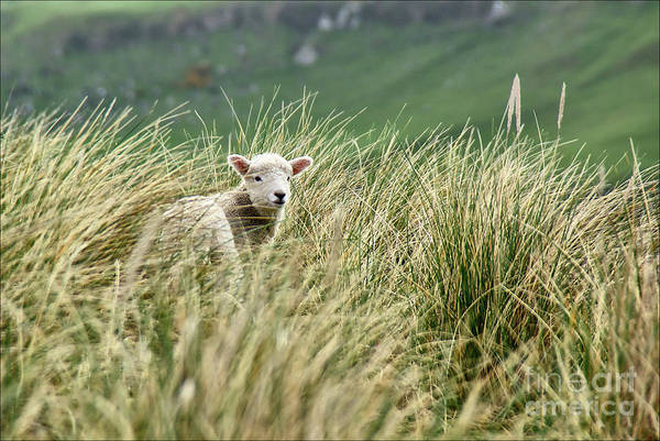Photograph - Lambs Jumping Among The Grass In New Zealand. by Joaquin Corbalan