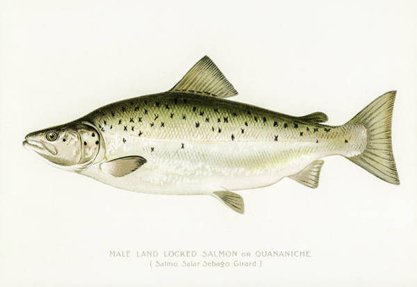 Drawing - Land Locked Salmon by David Letts