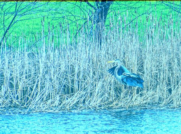 Wall Art - Photograph - Landing Great Blue Heron by Steve Harrington