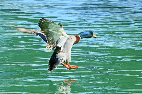 Wall Art - Photograph - Landing On Water by Shoal Hollingsworth