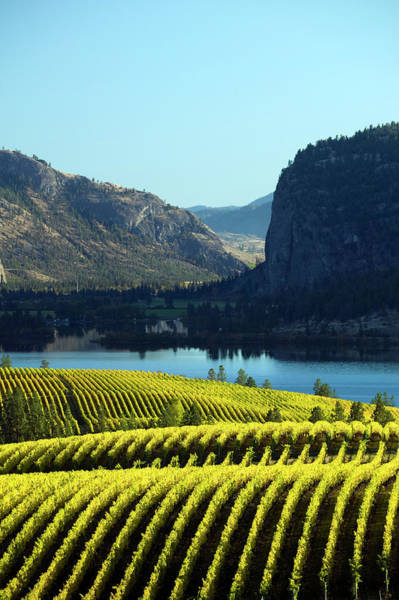 Okanagan Wall Art - Photograph - Landscape Of A Vineyard In Okanagan by Laughingmango