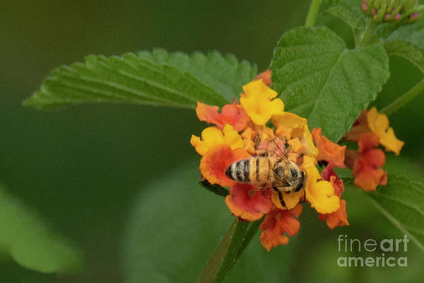 Photograph - Lantana Flower by Michael D Miller