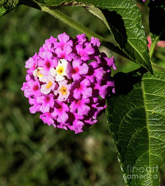 Photograph - Lantana by Michael D Miller