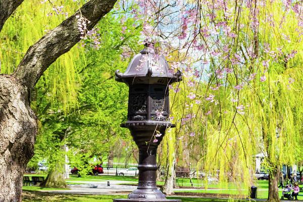 Photograph - Lantern Among Cherry by Christina Maiorano