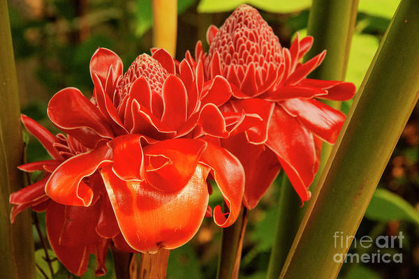 Wall Art - Photograph - Laotian Waxed Ginger Flower by Bob Phillips