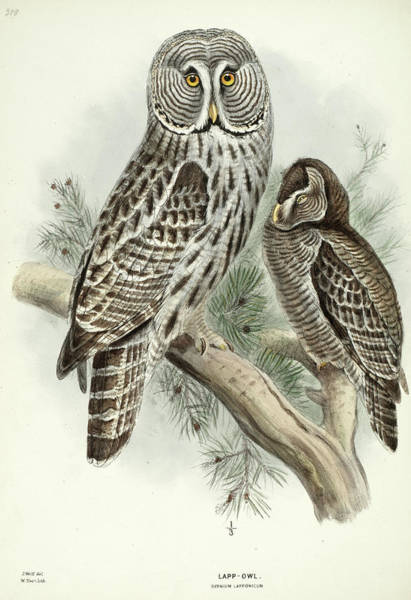 Ornithologist Wall Art - Painting - Lapp Owl by Henry Eeles Dresser
