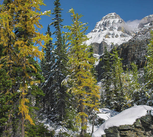 Photograph - Larch Trees Below Mount Huber, Yoho by Tim Fitzharris