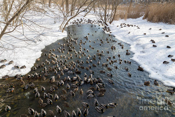 Adults Wall Art - Photograph - Large Amounts Of Ducks In The Winter In by Mikecphoto